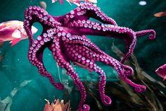 Octopus at the Georgia Aquarium photographed by Kien Tran Underwater Creatures, Underwater Life, Ocean Creatures, Kraken Octopus, Octopus Tentacles, Octopus Artwork, Octopus Pictures, Beautiful Creatures, Animals Beautiful