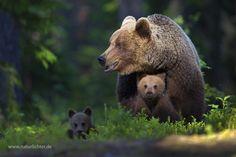 Brown bear (Ursus arctos) byChristoph F. Robiller
