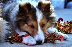 No one will notice the tinsel is missing from the Christmas tree. Sheltie Holiday Dogs