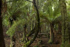 Myrtle forest in the Tarkine, NE Tasmania