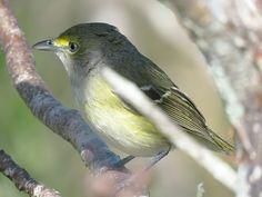 Bird Photos, Birding Sites, Bird Information: WHITE-EYED VIREO, MARKHAM PARK, SUNRISE, FLORIDA, ...