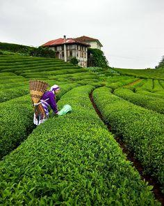 Tea fields in Cayeli - Rize / Turkey - See Pic Pamukkale, Champs, Wonderful Places, Beautiful Places, Trabzon Turkey, Visit Turkey, Turkey Travel, Belleza Natural, Bulgaria