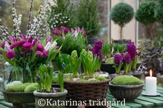 Purple bulbs in containers with moss