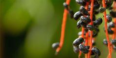 Bambuszpálma – gondozása, kártevői, virágzása, igényei Fruit