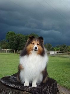 Sheltie awaiting the big storm