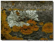 Xanthoria parietina (yellow scale/golden shield) and Anzia colpodes (black foam lichen) coexisting along a rock wall