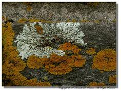 Xanthoria parietina (yellow scale/golden shield) and Anzia colpodes (black foam lichen) coexisting along a rock wall