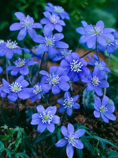 Hepatica nobilis, commonly known as liverwort, makes a terrific ground cover under evergreens. In early spring they send up beautiful blue flowers before the new leaves have even unfurled. Blue Flowers, Wild Flowers, Grain Of Sand, Dream Garden, Natural Wonders, Fungi, Amazing Nature, Wonders Of The World, Perennials