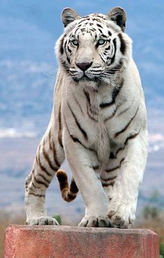 White Tiger my all time favorite land animal! They are rare and beautiful!