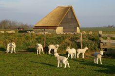 Lambs, Texel
