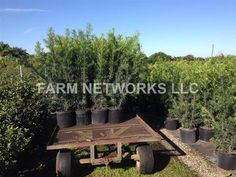 Plants  Nursery Home Inspo Decor Podocarpus  Home