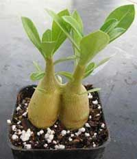 Desert Rose Seedling Care - Lots of great info! Desert Rose Care, Desert Rose Plant, Bonsai Garden, Garden Plants, House Plants, Snake Plant Care, Tree Care, Tropical Landscaping, Cacti And Succulents