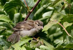 nice fledgling house sparrow wallpaper Check more at http://www.finewallpapers.eu/pin/4287/