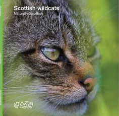 Scottish Wildcat - The Highland Tiger