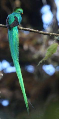 Un Quetzal resplendissant (Pharomachrus mocinno)