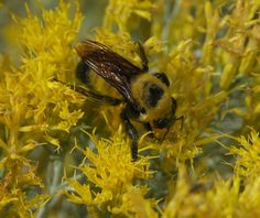 Bye bye bumblebee: Honeybees aren't the only pollinators in danger | Grist