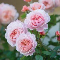 A Shropshire Lad - David Austin Roses
