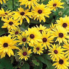 Sädepäivänhattu - Viherpeukalot - Another! Annual Plants, Colorful Flowers, Different Colors, Perennials, Garden Cottage, Nature, Gardening, Annual Flowers, Summer Flowers