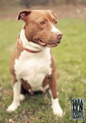 Cocoa is an adoptable Pit Bull Terrier Dog in Greensboro, NC. Cocoa is a sweet girl who found herself at the local shelter nursing her puppies. Now that her puppies have been weaned, she's ready for h...