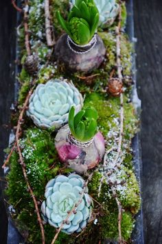 Echeverias, hyacinths with larch branches and moss - perfect winter botanicals.