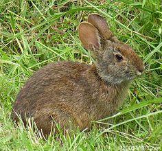Marsh Rabbit (Sylvilagus palustris) - Mason Farm, Chapel Hill, NC 9/30 ...