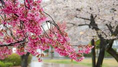 10 things to do in Tokyo. Cherry Blossoms in Japan and Spring Colors Around the World