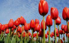 Tulip - national flower of Afghanistan