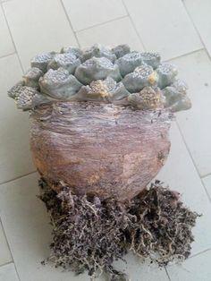 ariocarpus fissuratus
