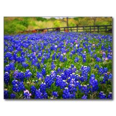 ==>Discount          	Field of Bluebonnets Postcard           	Field of Bluebonnets Postcard This site is will advise you where to buyHow to          	Field of Bluebonnets Postcard Review from Associated Store with this Deal...Cleck See More >>> http://www.zazzle.com/field_of_bluebonnets_postcard-239400803016247270?rf=238627982471231924&zbar=1&tc=terrest