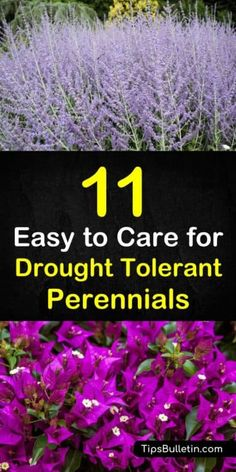 Discover 11 drought tolerant perennials that can be planted in backyards to bring color to your landscape design. From shrubs to ornamental grasses to flowers garden, these beautiful garden ideas will bring beautiful shades of colour to your yard. Drought Resistant Plants, Drought Tolerant Landscape, Ground Cover Drought Tolerant, Drought Resistant Landscaping, Garden Care, Flowers Perennials, Planting Flowers, Flowers Garden, Top Flowers