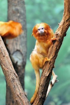 Golden Lion Tamarin (by jerry dohnal)