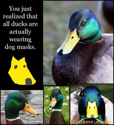 Ducks are wearing dog masks