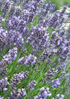 How to Plant and Care for Lavender in the Southeast | Tennessee Gardener Web Articles
