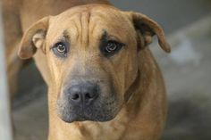 RESCUED>NAME: Russell  ANIMAL ID: 30334088  BREED: Sharpei  SEX: male  EST. AGE: 2 yr  Est Weight: 47 lbs  Health: heartworm neg  Temperament: dog friendly, people friendly  ADDITIONAL INFO: RESCUE PULL FEE: $12  Intake date: 12/4  Available: Now