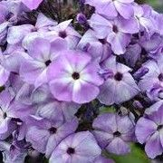 Butterfly friendly plant. Click image to learn more and to add to your own plants list. Phlox 'Violet Flame' (Flame Series) is a compact, dwarf, upright to bushy, clump-forming, herbaceous perennial with lance-shaped, mid- to dark green leaves and upright panicles of violet-blue to lavender flowers in summer.