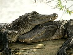 alligators have feellings too!!!!!