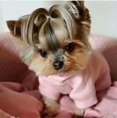 Yorkies, Biewer Yorkie, Yorkie Puppy, Teacup Puppies, Cute Dogs And Puppies, Pet Dogs, Dog Cat, Yorky Terrier, Yorshire Terrier