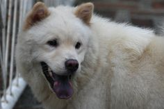 Chow-chow - In white/cream coat is considered rare here - though its unusual blue-black/purple tongue is still distinguishably Chow (probably only with this breed). This one just had pups and have already shed a major of its coat.     . For pet care info visite: www.petcareadvisors.com