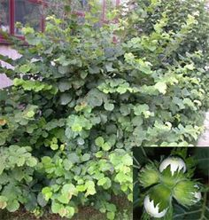 | Lieska obyčajná | Corylus avellana