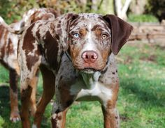 Joaquin the Catahoula Leopard Dog Lousiana Catahoula Leopard Dog, Short Haired Dog Breeds, I Love Dogs, Cute Dogs, Catahoula Cur, St Kitts, English Coonhound, Hunting Dogs, Dogs And Puppies