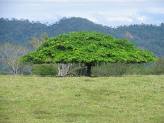 Costa Rica- Arbol de Guanacaste; National Tree: On August 31, 1959, the Guanacaste tree (enterolobium ciclocarpum) was declared the national tree of Costa Rica. It was chosen as a tribute to the people of Guanacaste, which was the last province to join the Republic in 1825.