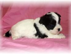 Shih-Poo Puppies Gabriel looks just like this : )
