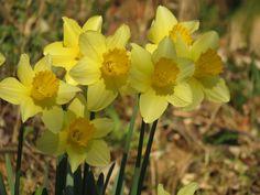 スイセン. daffodils. 4 April 2017.