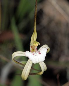 Caladenia dorrienii - Cossack Spider-Orchid, by kimborow, via Flickr