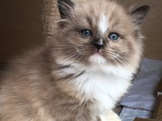 RagaMuffin kitten of Sweetlilpaws Adorable Kittens, Adorable Animals, Cute Cats, Ragamuffin Kittens, Animal Pictures, Cute Pictures, Better Half, Here Kitty Kitty, Baby Cats