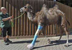 Poor guy!  A keeper walks camel Laila with a broken leg at a horse clinic in Berlin, Germany, Friday, May 4, 2012. Laila broke her leg on a meadow of the breeding farm of her owner two weeks ago and had to under