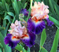 World of Irises: TALL BEARDED IRIS--FIRST-YEAR BLOOMS, 2014
