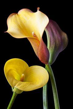 Сalla Lilies