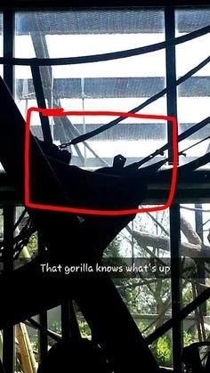 Go go gorilla
