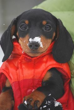 doxie with a #red vest on :) HelloWinter